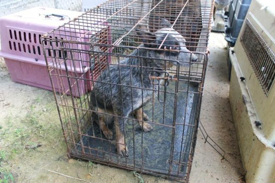 More pictures of the dogs seized from AKC Breeder of Merit Lynne Hackney in 2014. Source: Bleu Moon Cattle Dog Rescue, Facebook Group https://www.facebook.com/bleumoonrescue/