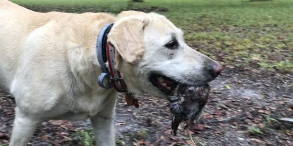 2019-10-08-canine-review-nellie-seaisland-hunting1