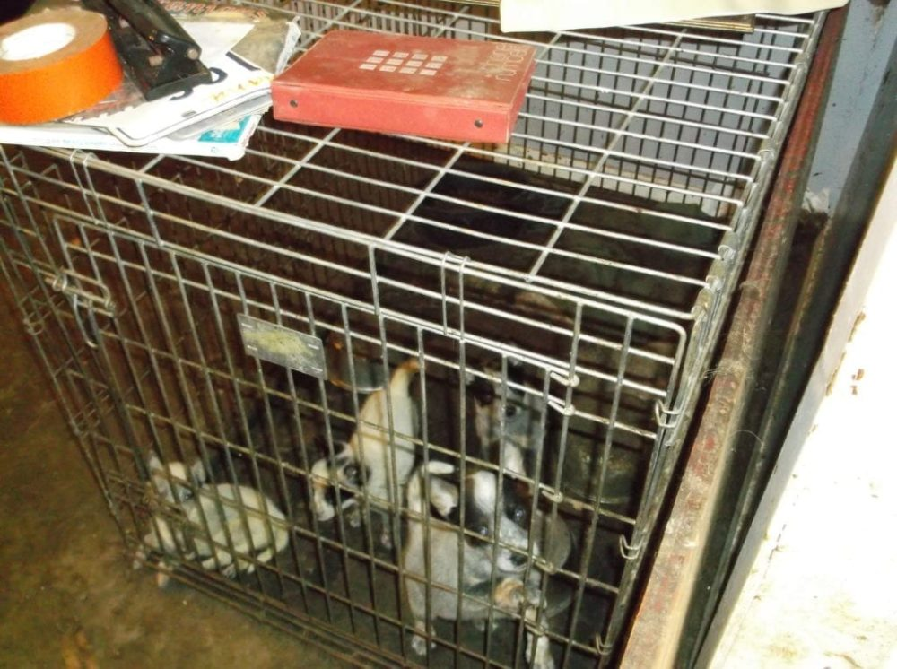 Photos of AKC Breeder of Merit Lynne Hackney's dogs at the time they were seized in October 2014, obtained from the Pearl River County Sheriff's Office by The Canine Review
