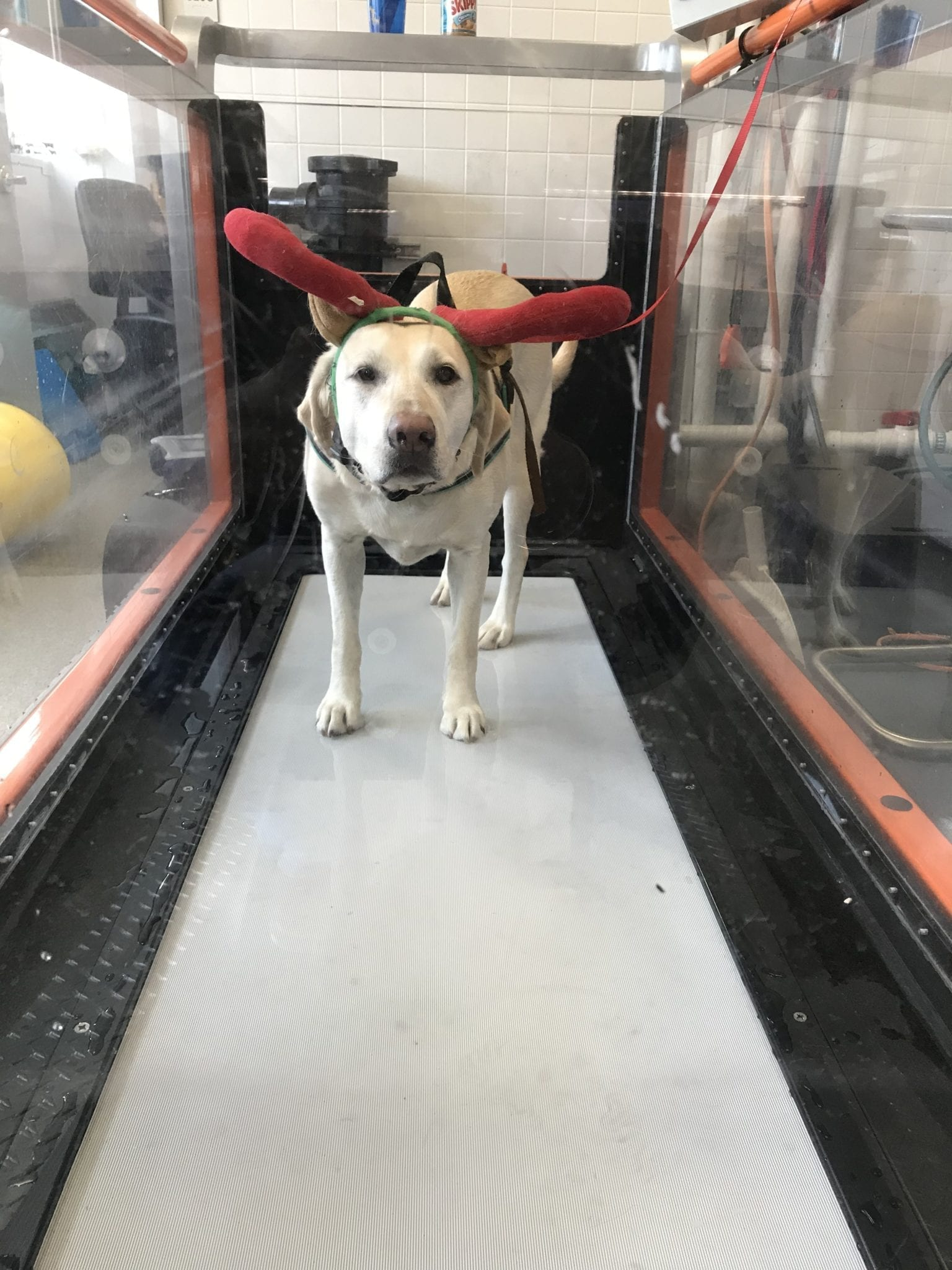 nellie-treadmill-antlers-christmas-canine-review01