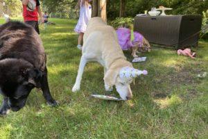 dog birthday party july 2020 nellie inhaling cake