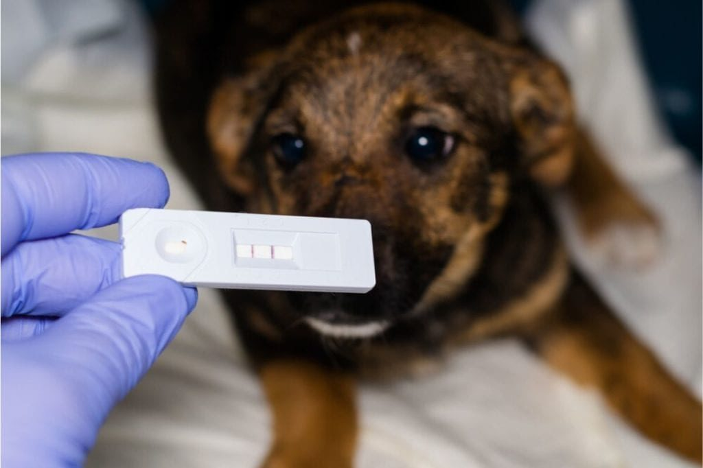 a puppy tests positive for parvovirus