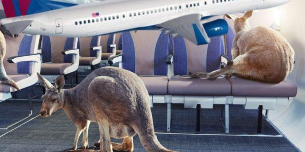 flying kangaroos