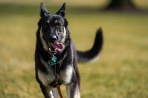 President Biden's dog major
