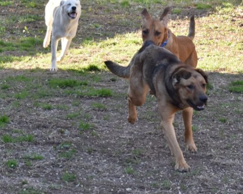 dogs playing, running